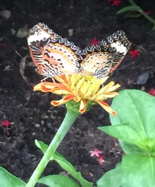 butterflylove