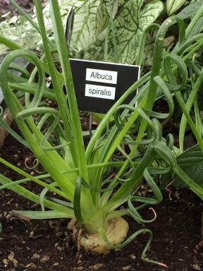 Yard onions?